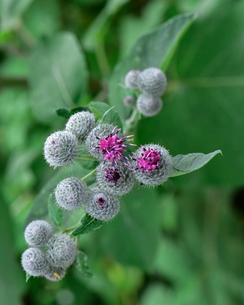 Kletten Blüte